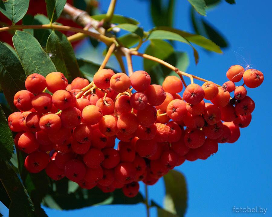 никогда задумывались картинка дерева рябины и ее плодов дисциплина ниндзюцу почти
