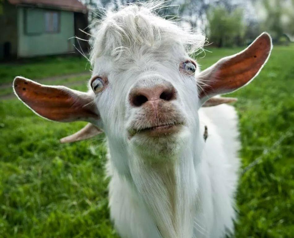 смешные фото про козлов обоями