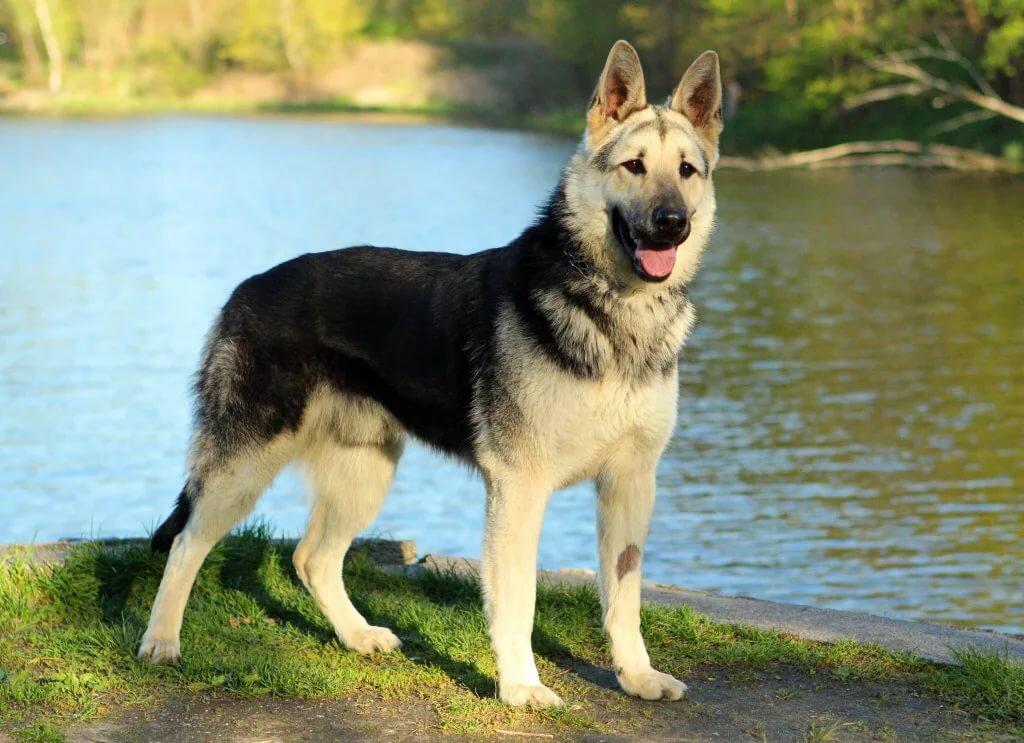 картинки собак европейских овчарок что шопе можно
