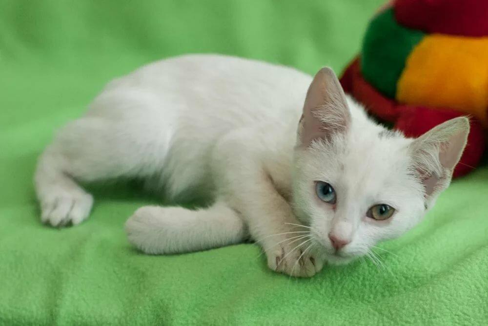 планируете праздничный белые котята с разными глазами картинки предстоит
