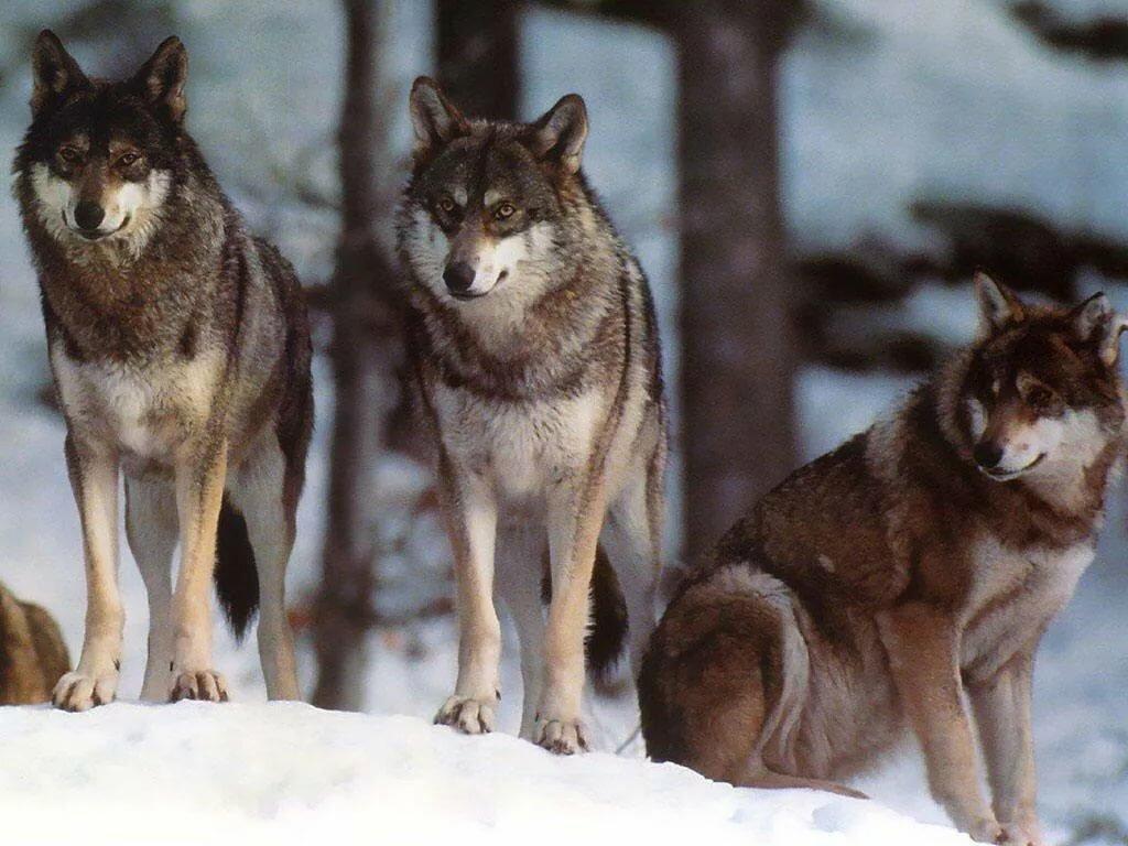 виды волков список и фото свое время