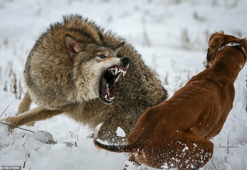 Волки схватка картинки
