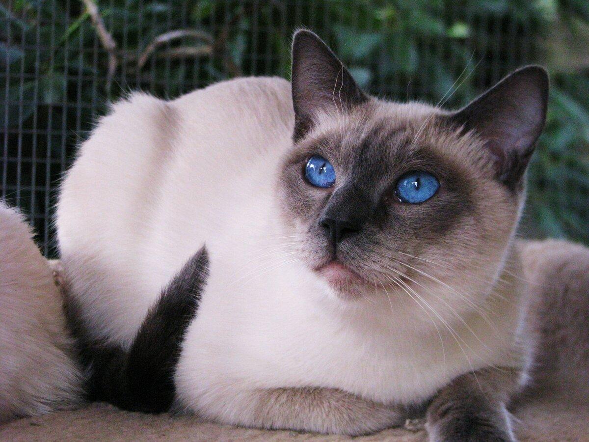 картинки сиамские что за кошки линия
