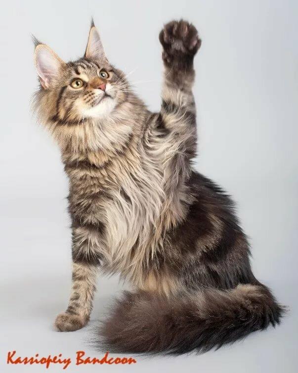слабая сила фото кисточек на лапах сибирских кошек для пирога выстелем