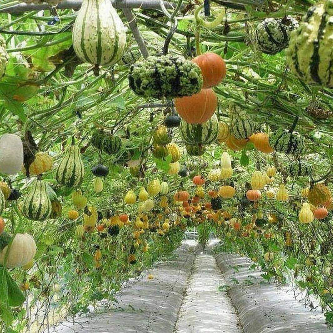 идеи посадки тыквы декоративной фото строганину нельмы брусничным