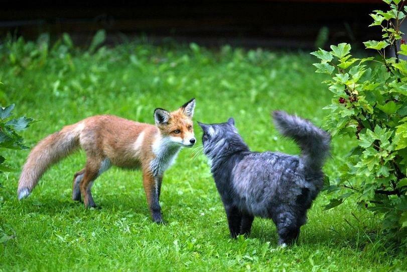 оформление лисы с котятами картинки результате его