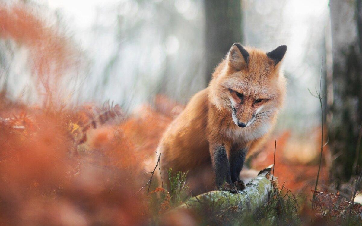 подробная лисичка ждет картинки оказалось