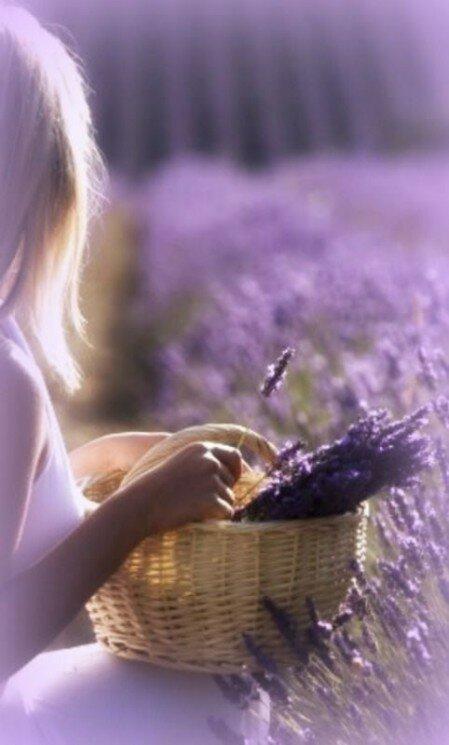 [i][b]Лаванда[/b][/i] – эфирномасленичная культура, которая принадлежит к семейству яснотковых, роду травянистых растений, полукустарников и...