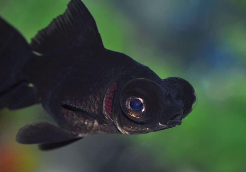 Аквариумная рыбка телескоп картинки