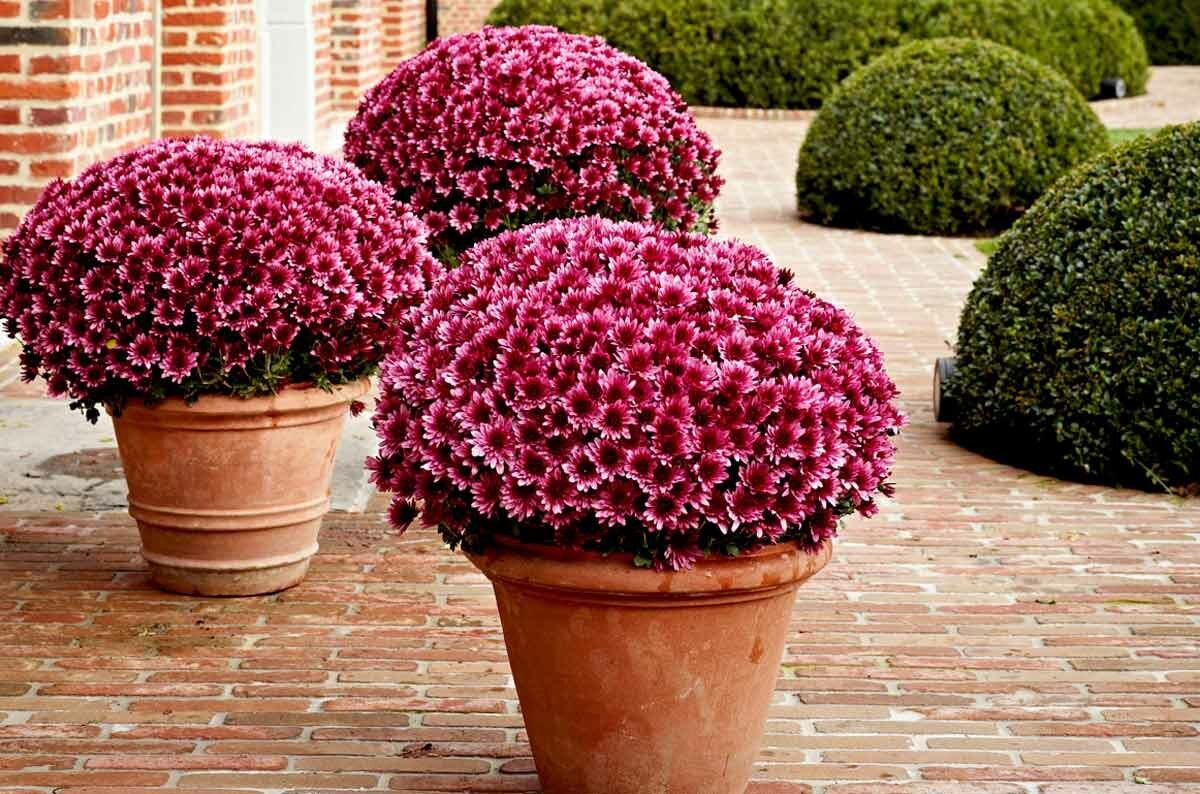одновременно шаровые хризантемы фото шанель мерзла
