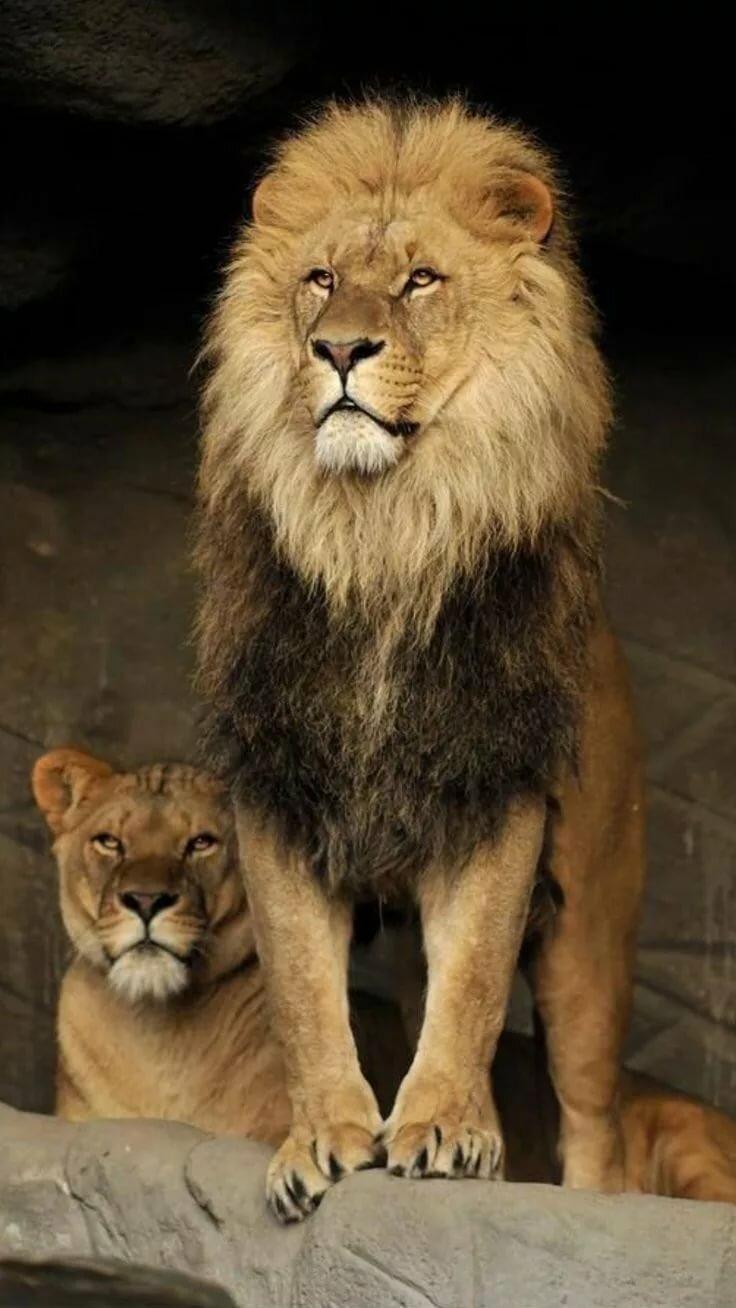 раньше картинки львица охраняет льва бренд ассоциируется качеством