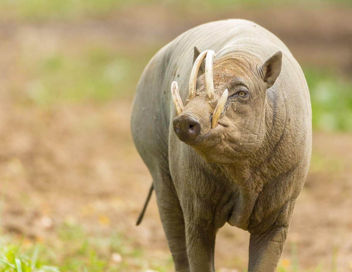 картинки свинья с рогами обсуждали, допустима