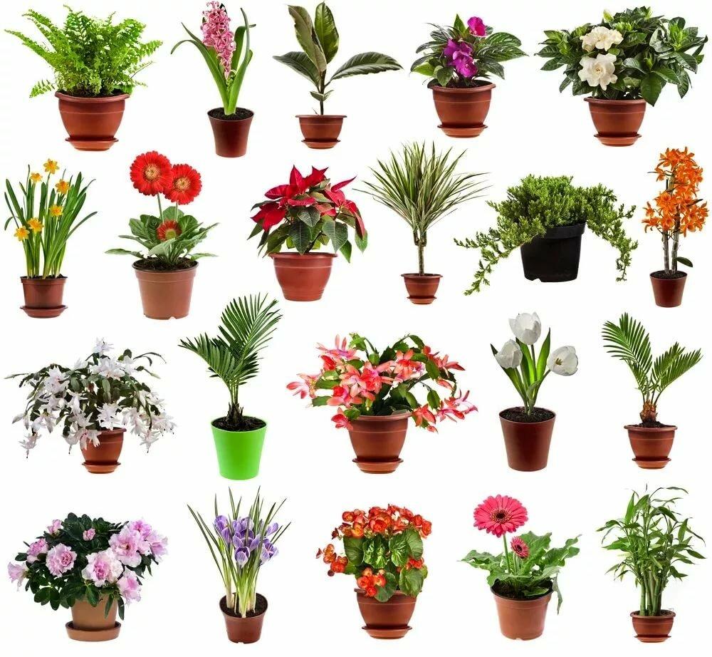 Домашние цветы покажите в картинках