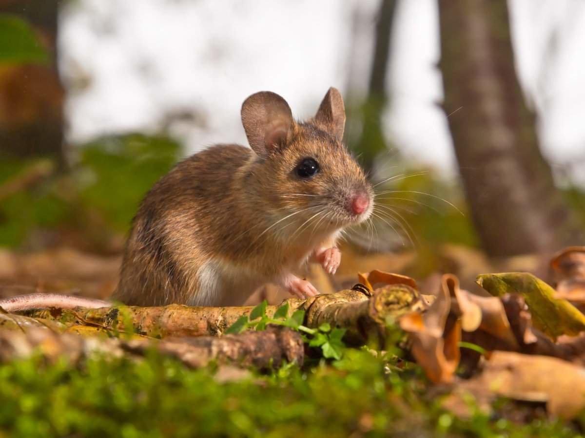Кружев, мыши на картинках