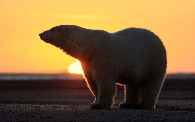 медведь и закат
