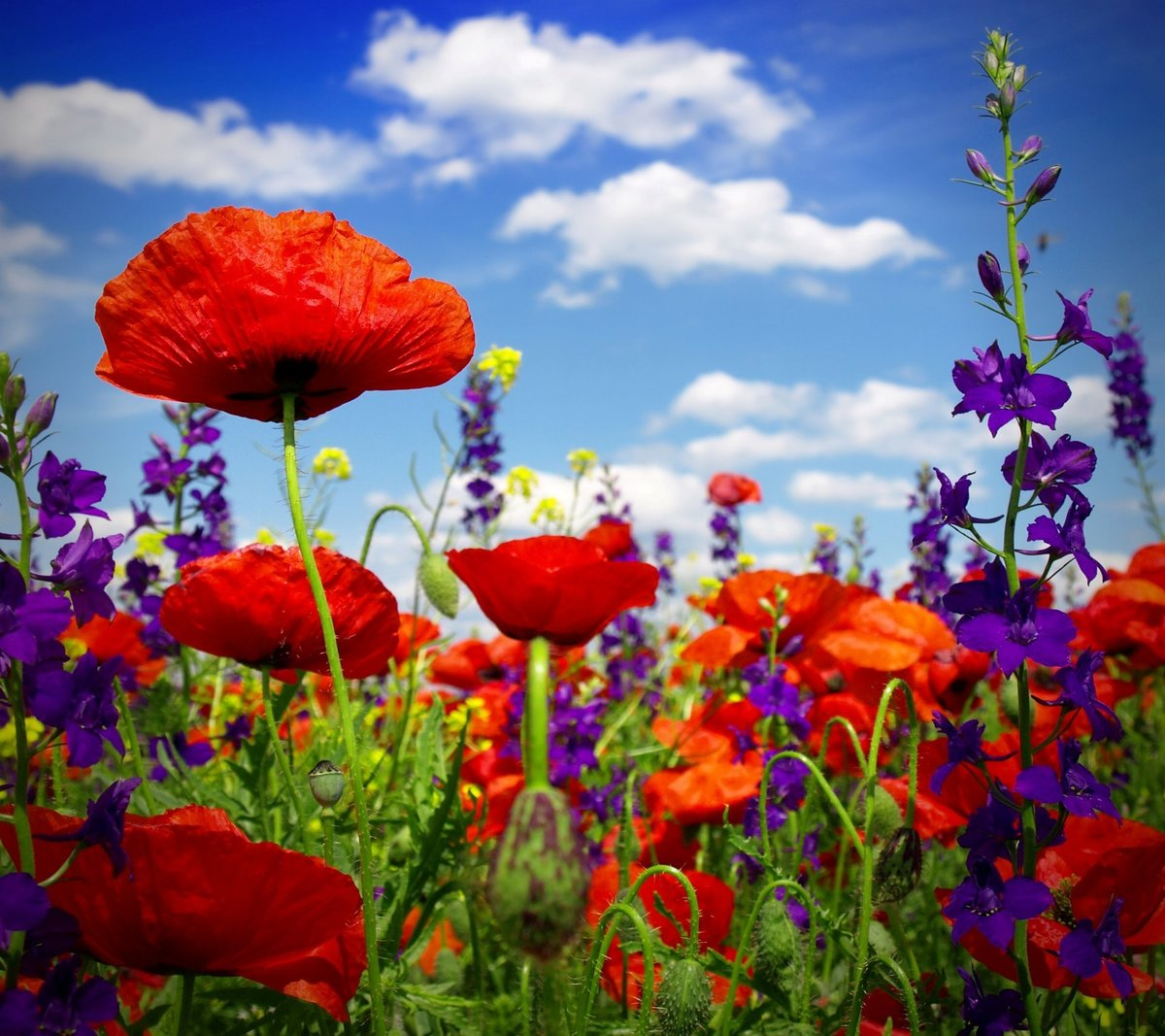 Poppy Field Wild Flowers Poppy Field Poppies Flower Summer Bloom