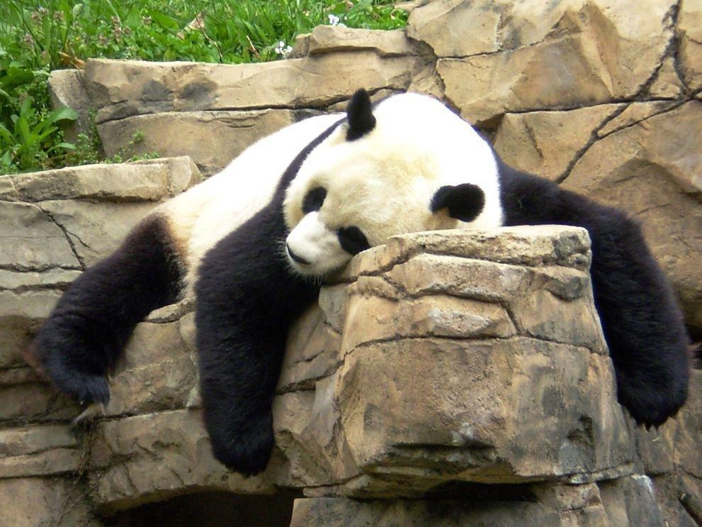 Празднику, панда прикольная картинки