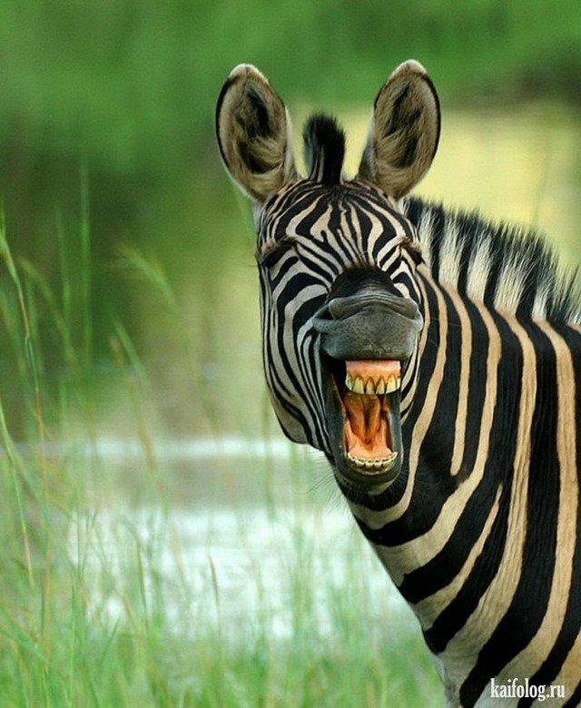 Поздравления, смешная зебра в картинках