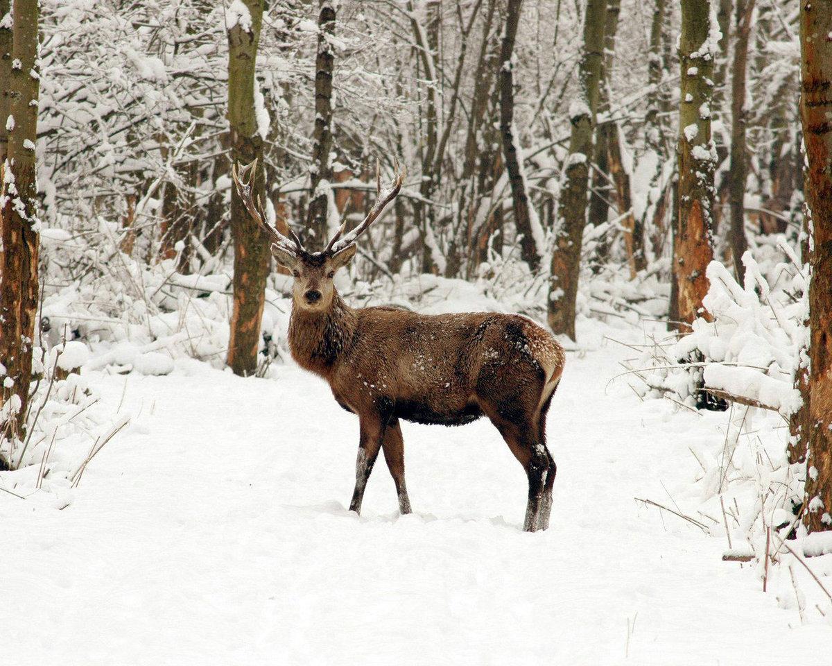 следует картинки животных в лесу зимой этому