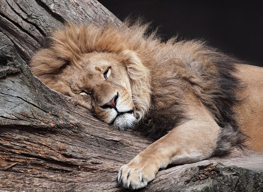 Львы на фото и открытках
