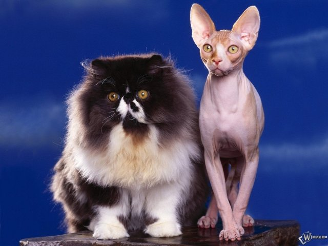 Кот толстый и худой