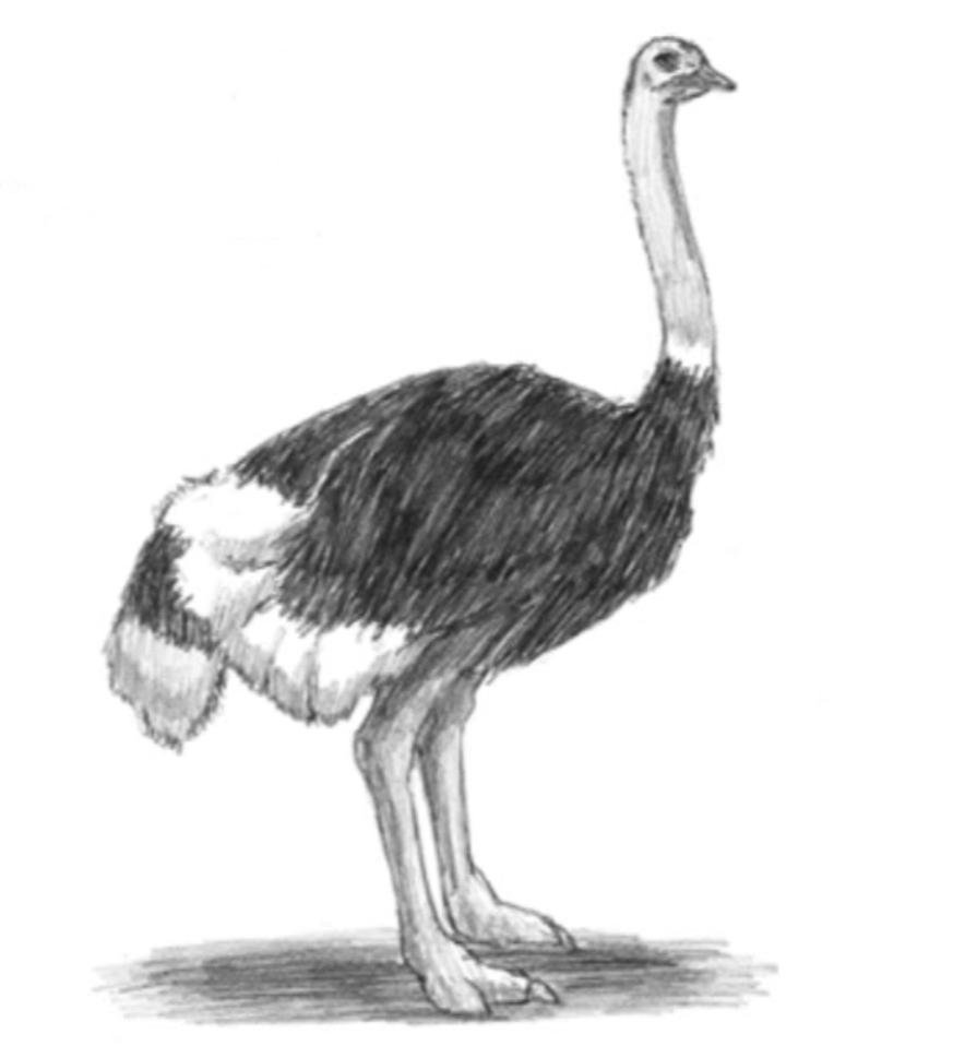 картинка страуса мультяшного пошагово глаза, стрелять