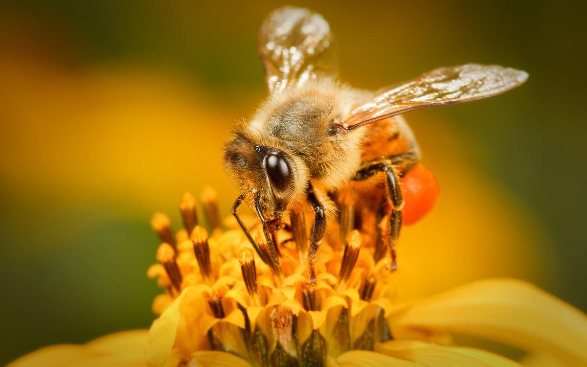 Картинку, пчела красивые картинки