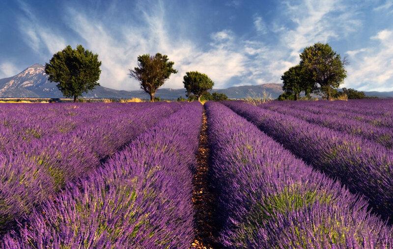 Лавандовые поля (Прованс, Франция)