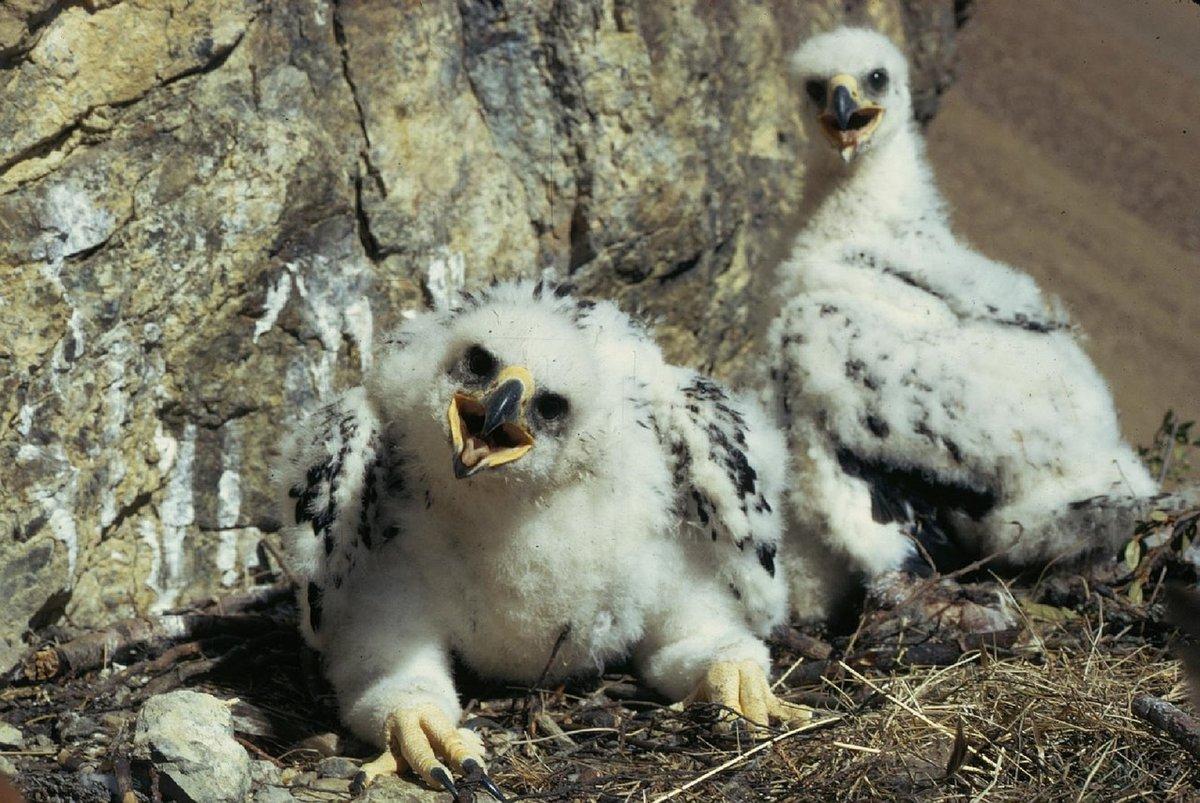 фото видео фото птенца орла можно