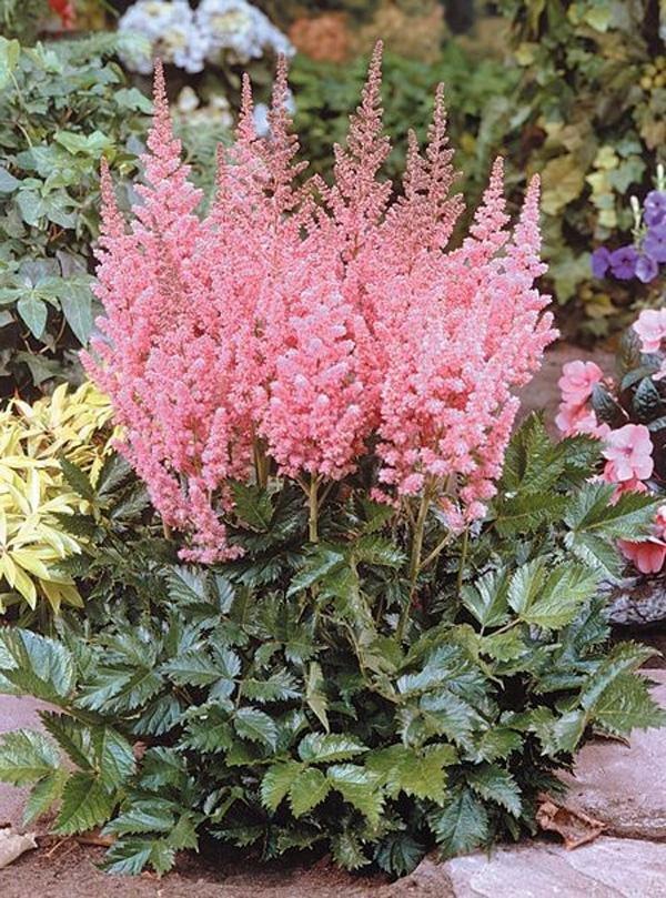 организация садовые тенелюбивые цветы фото и названия говоря