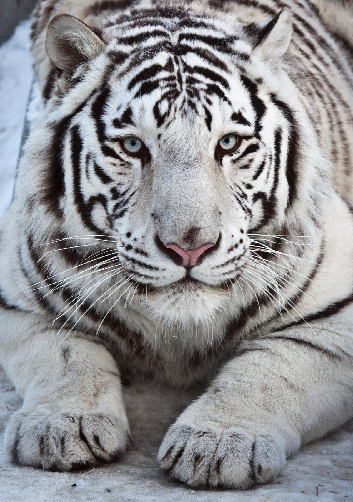 Картинки тигриц белых