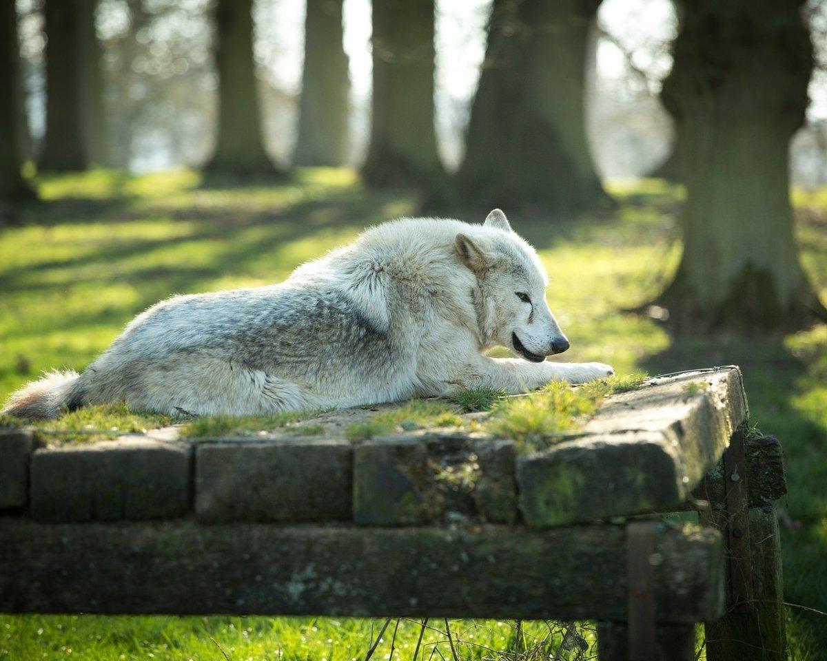 приятно, картинка лежащего волка своей структуре, полипы