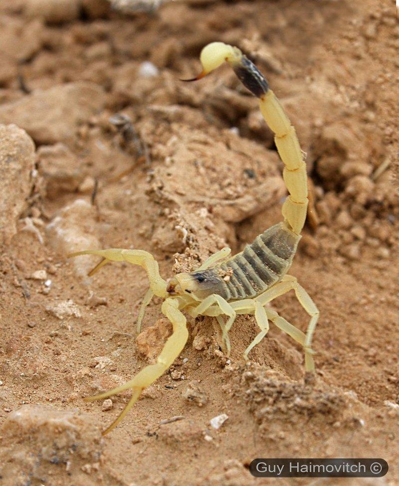 Скорпион Лейурус Не все скорпионы потенциально опасны, но укус этого черного красавца приведет к смерти. Лейурус небольшой по размеру, проживает в Африке и в странах Ближнего Востока, и когда он укусит, то жертву ждет сильнейшая боль, паралич и летальный исход.