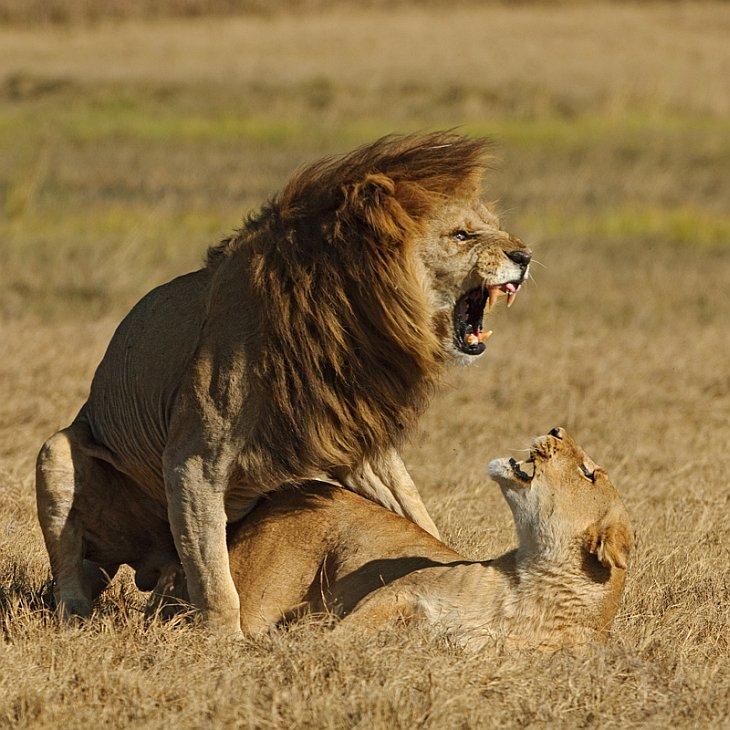 картинки львов и львиц