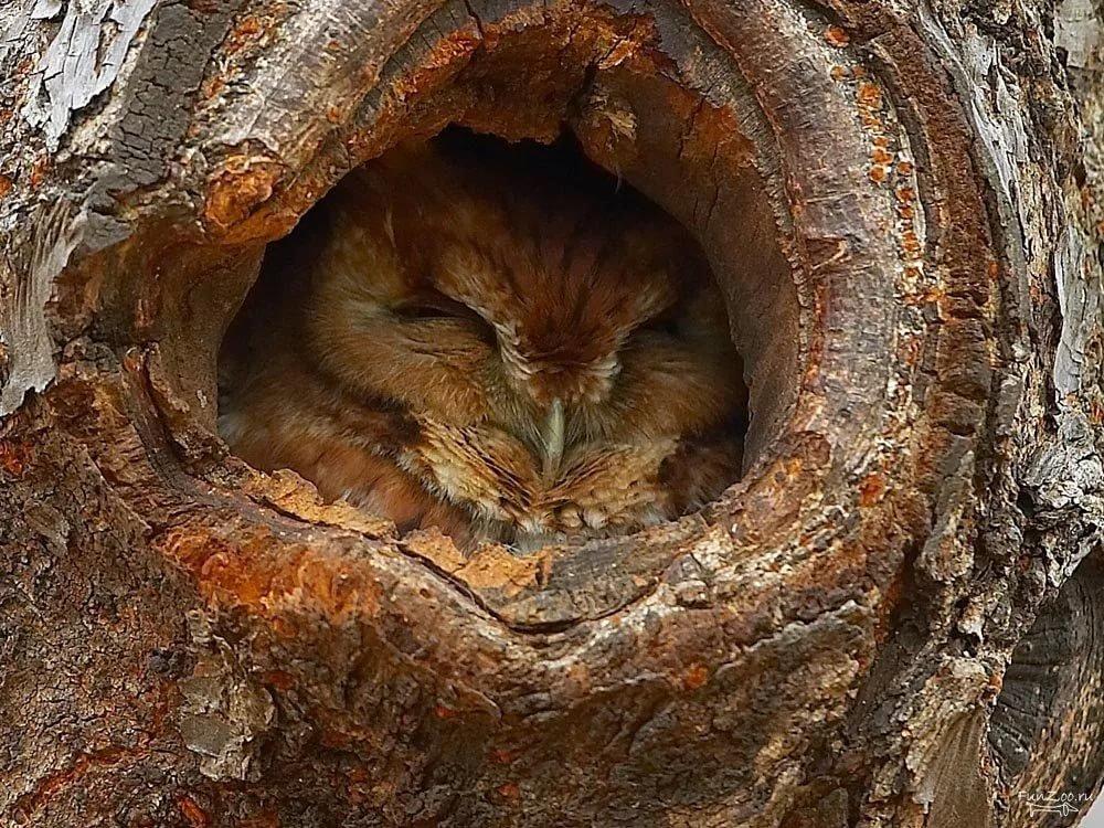 фото спящей совы филина