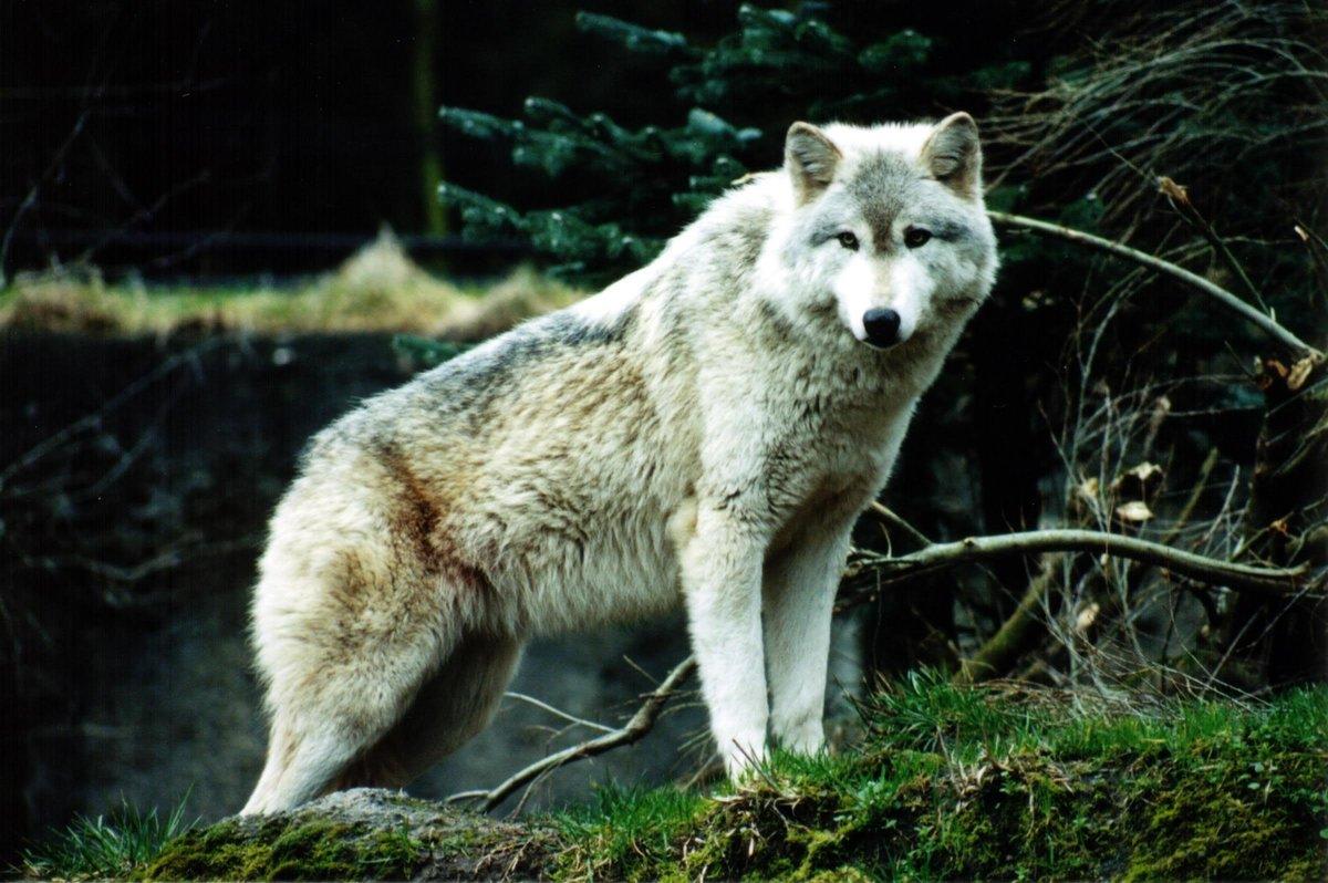 Качественные картинка волка