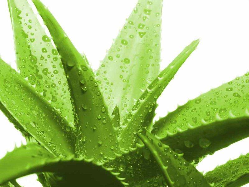 Комнатные растения, которые лучше всего очищают воздух и должны красоваться в каждом доме. Чемпионы среди растений, очищающие воздух лучше любого кондиционера.