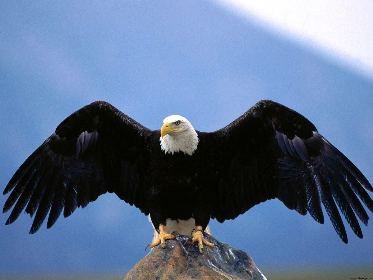 Днем рождения, орел в картинках птица