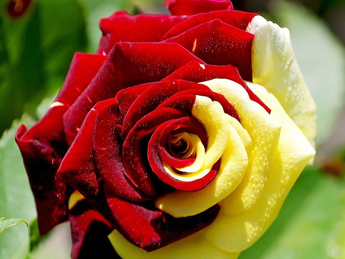 Мужчиной женщиной, фото красивые розы