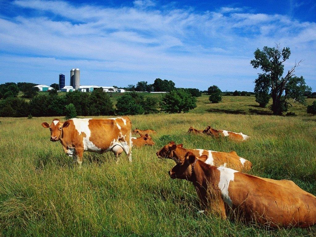 Коровы в картинках на природе, открытки для