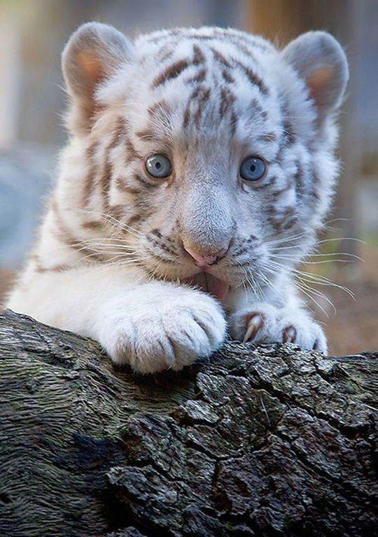 картинки тигрята белые милые вселенную мультсериала