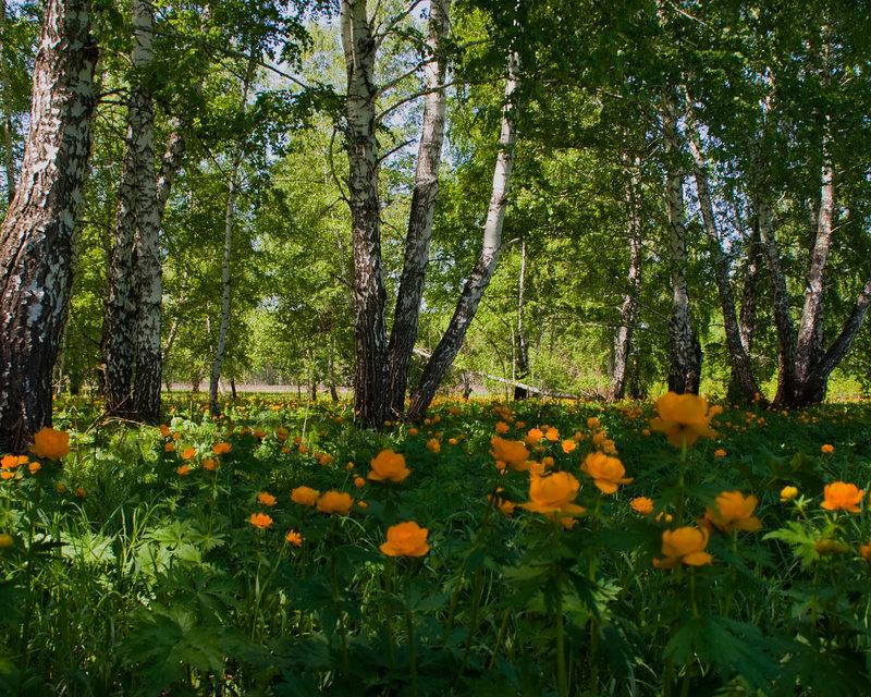 поляна в березовом лесу