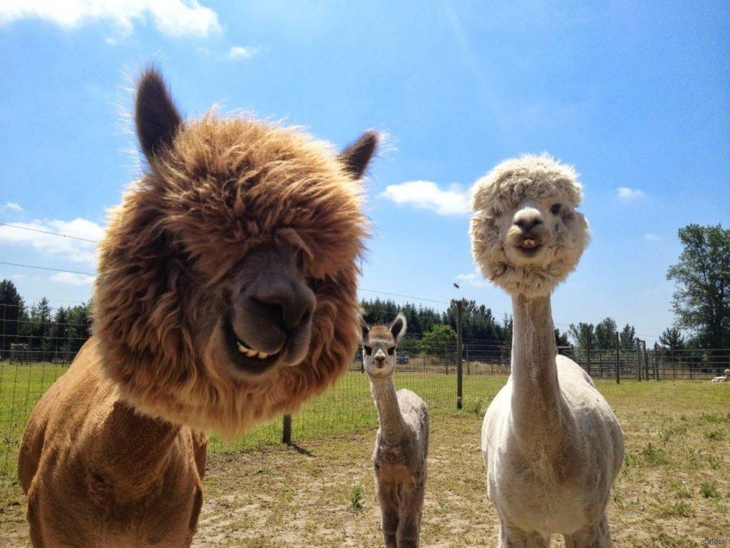 Картинка смешной ламы
