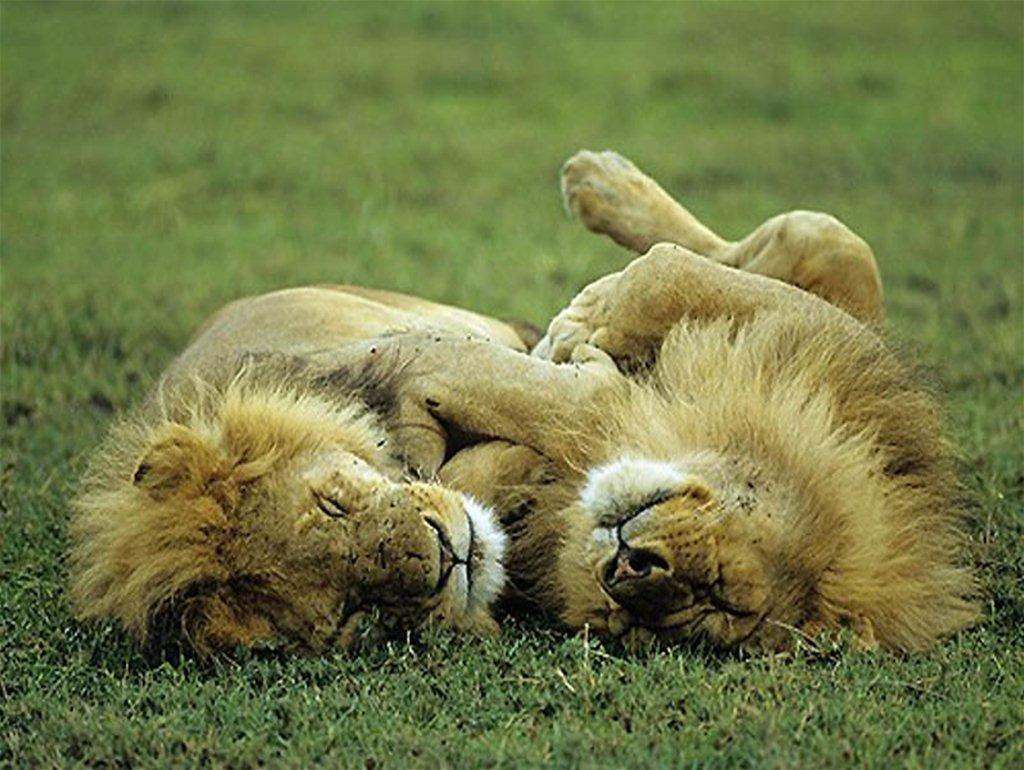 Веселым, картинки как спят животные