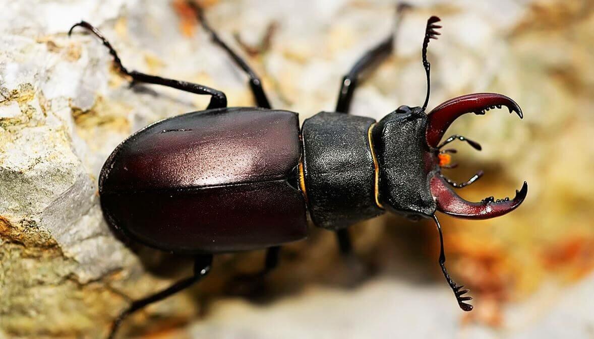 Насекомые жуки в картинках