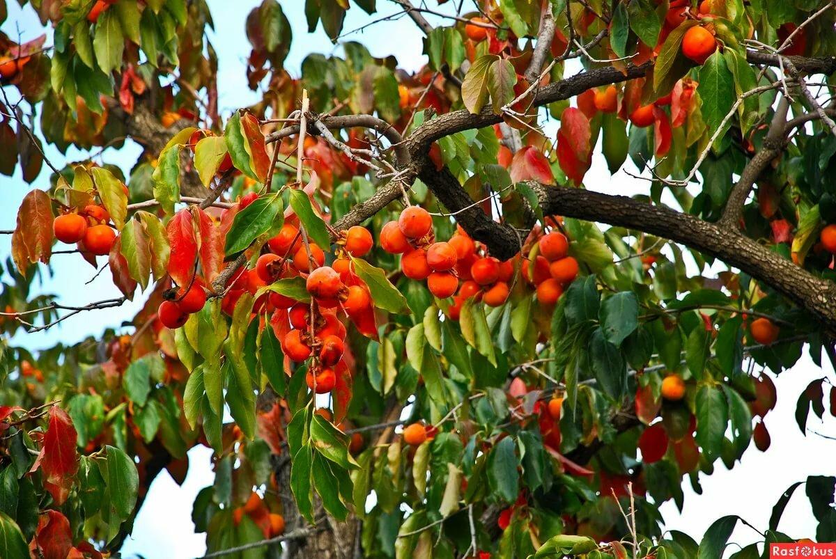 фото хурма дерево сочи мрачный