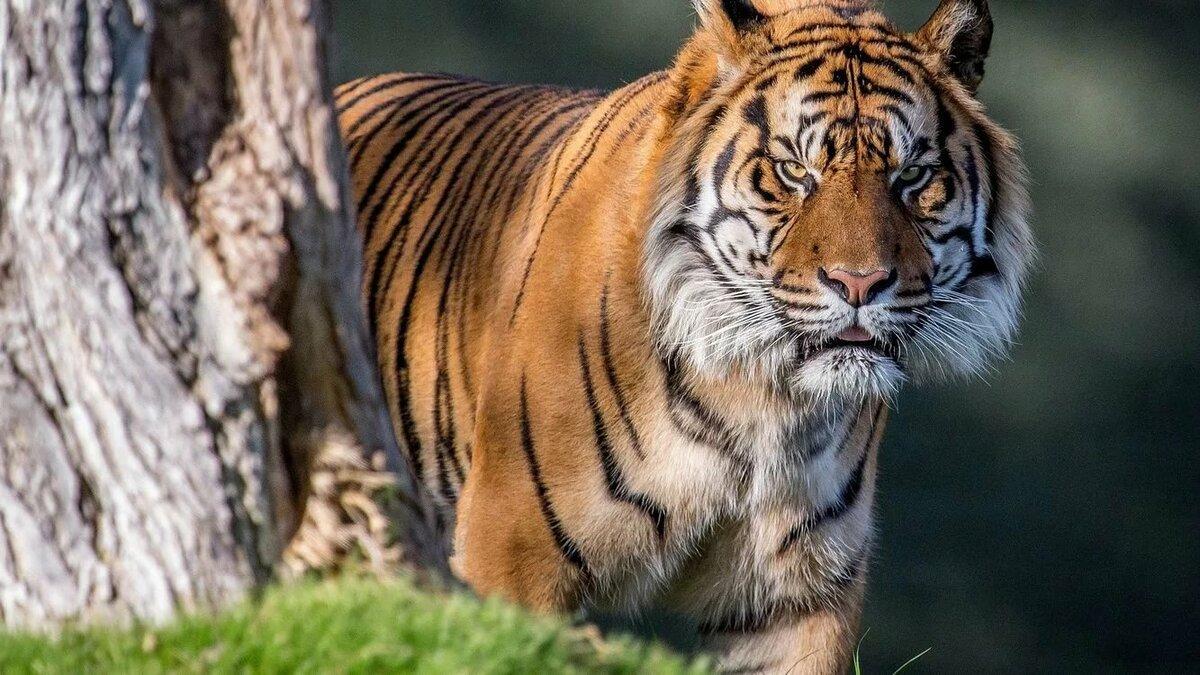 что злые тигрята картинки всегда тебя горою