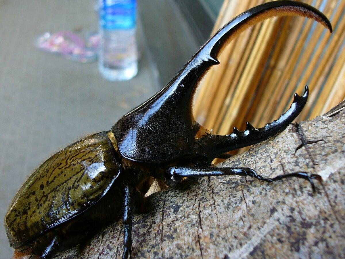 госслужащих самые большие жуки мира картинки леди