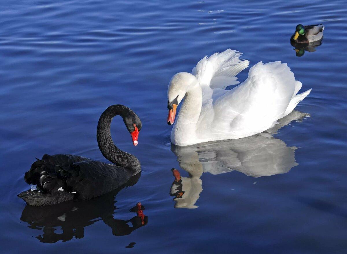 Красивые картинки черные лебедь