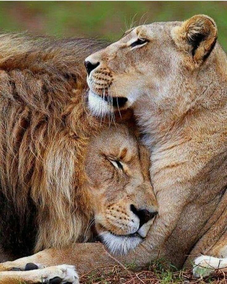 Анимационные картинки львов и львиц
